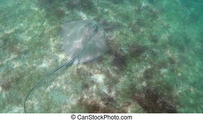 Swimming with a stingray shot two - Florida Keys underwater...