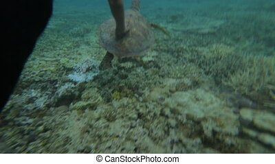 Swimming With A Turtle, GBR, Lady Elliot Island