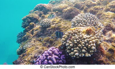 Swims over a coral reef in the Red Sea