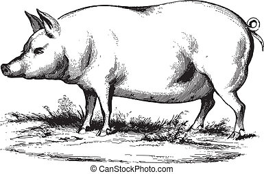 Ancient vector engraving of a swine isolated on white