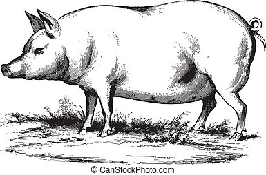 Swine - Ancient vector engraving of a swine isolated on...