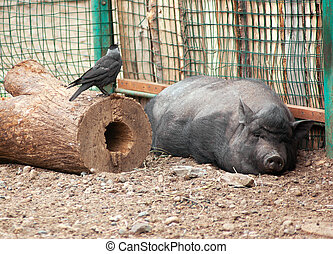 The big sleeping swine and black raven