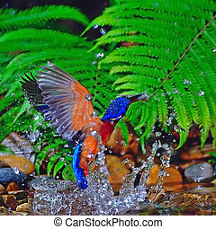 male Blue-eared Kingfisher - Swing bird, catching fish, male...