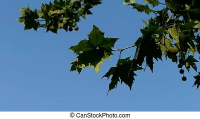 swing plane trees & the Indus leaves, tree crown.