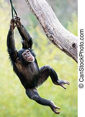 Young Chimpanzee Swinging in Tree