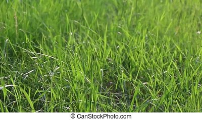 Long Green Grass in Blowing Wind