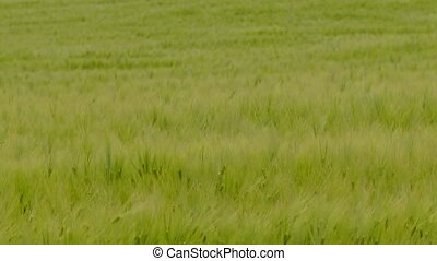Swinging in the wind spikelets of wheat on a wheat field -...