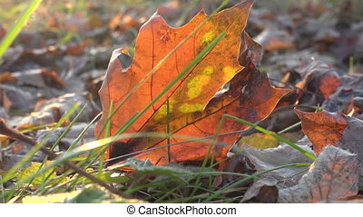 swinging yellow mapple leaf on the ground