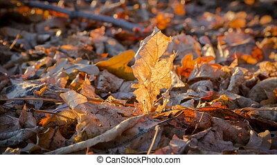 swinging yellow oak leaf on the ground - swinging on wind...