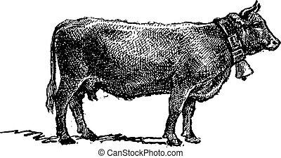 Swiss cattle breed, vintage engraving.