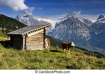 Swiss cow with large hills in the background