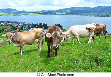 Swiss cows Find Similar Images Share ? Swiss cows