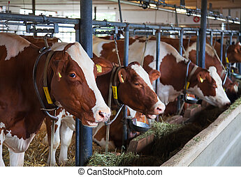 Swiss farm - Interior of the modern swiss cow farm