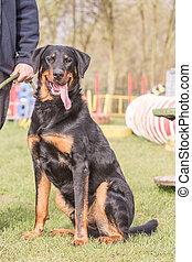 Swiss Mountain Dog living Belgium