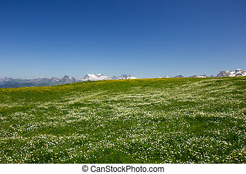 swiss mountains on a sunny day with a meadow full of flowers in the foreground
