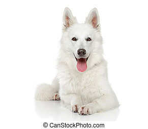 Swiss Shepherd dog on white background - White Swiss...