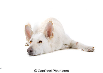 Swiss white shepherd dog lying down, isolated on a white...