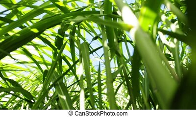 switch grass, a renewable source for energy and multi...