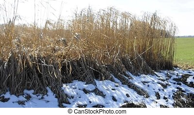 Switch grass in winter