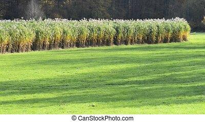 switch grass - switch grass, field in Germany, renewable...