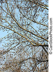 Swollen tree branches against a blue sky in early spring on a sunny day