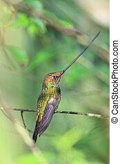 Sword-Billed Hummingbird (Ensifera ensifera) in Guango,...