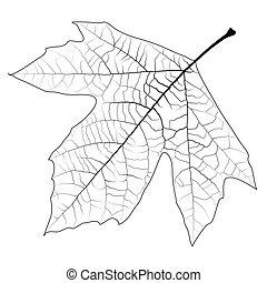 Sycamore Autumn Leaf - Design element - high detailed...