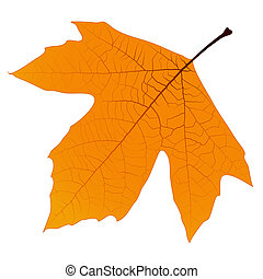 Yellow autumn leaf sycamore with lots of veins on a white background. EPS10 vector.