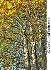 sycamore in autumn - large sycamore with their autumn leaves