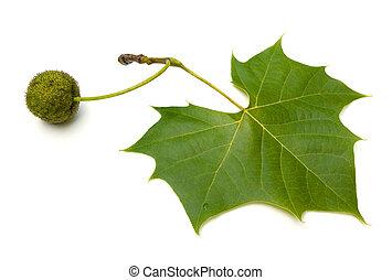Sycamore Leaf - American Sycamore (Platanus occidentalis) ...