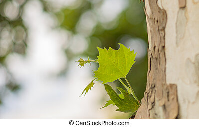 Sycamore leaf - sycamore background
