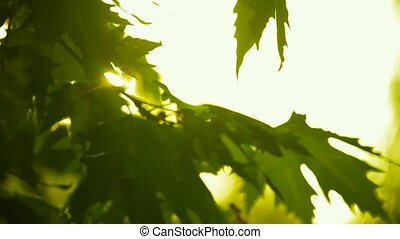 The rays of the sun through the orange leaves of sycamore