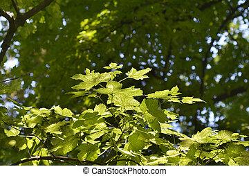 Sycamore Leopoldii leaves - Latin name - Acer pseudoplatanus...