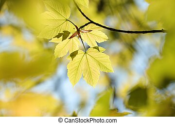 Sycamore maple leaf - Sycamore maple leaves in the forest