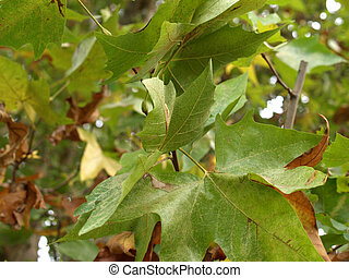 Sycamore or Platanus tree leaves