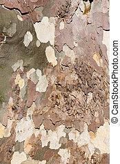sycamore tree bark background