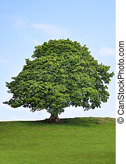 Sycamore Tree Beauty - Sycamore tree in full leaf in a field...