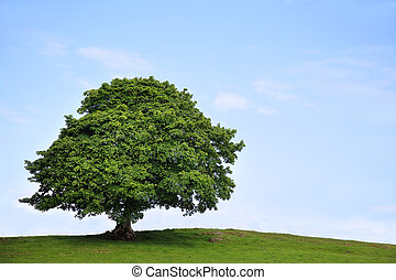 Sycamore Tree in Summer - Sycamore tree in full leaf in a...