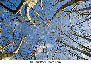 Sycamore tree in winter - Presentation of plane trees taken ...