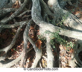 sycamore tree roots emerging from the earth earth