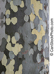 Sycamore Tree Surface for Backgrounds