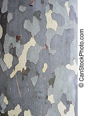 Sycamore Tree Surface or Bark for Backgrounds