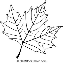 sycamore,(Platanus acerifolia ), vector, isolated sycamore leaf,
