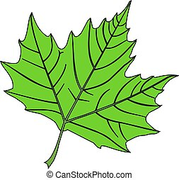 sycamore,(Platanus acerifolia ), vector, isolated sycamore ...