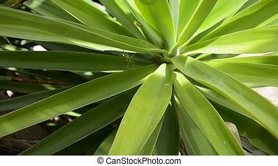 sycylijski, egzotyczna roślina