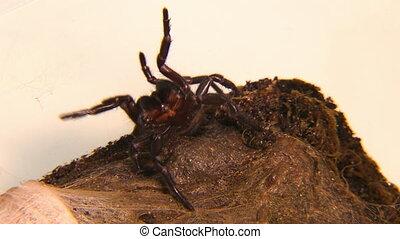 Sydney Funnel-Web Spider In Attack Mode - Handheld, close up...