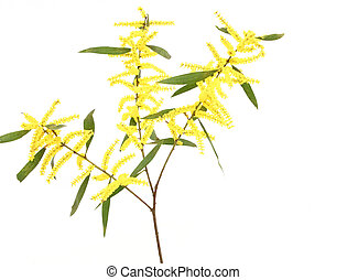 Sydney Golden Wattle - This acacia has cylindrical spike...