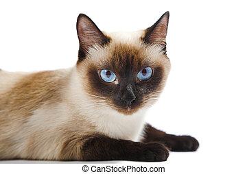 Błękitny Syjamski Tło Kot