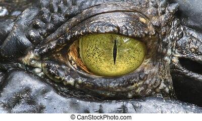 syjamski, krokodyl, oko