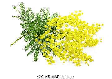 symbole, canisse, 8, ou, branche, mimosa, blanc, jour, ...